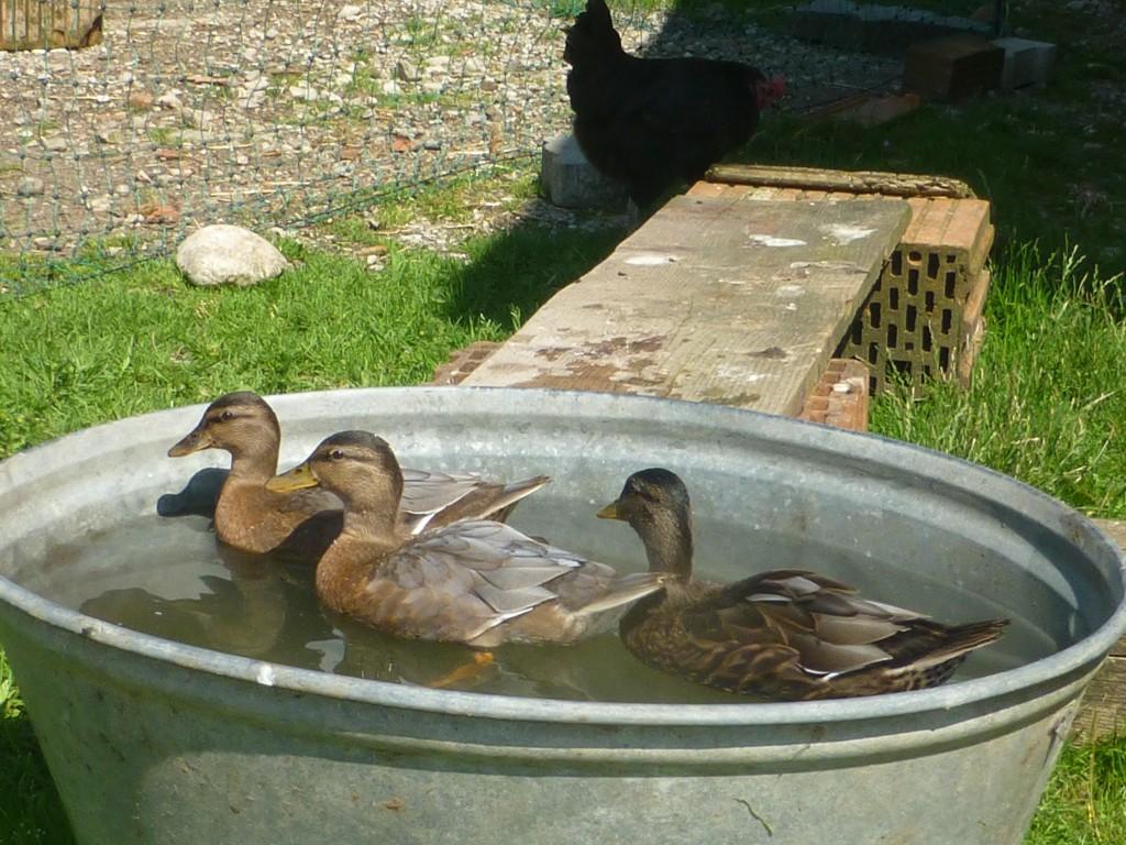Zwergenten beim baden